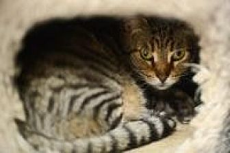 Domestic Mediumhair Cat for adoption in New Orleans, Louisiana - Grazie