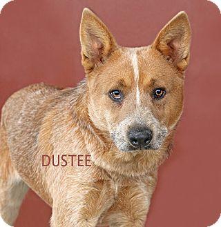 Australian Cattle Dog Mix Dog for adoption in Idaho Falls, Idaho - Dustee