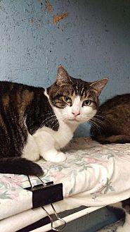 Domestic Shorthair Cat for adoption in Brainardsville, New York - Benny