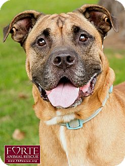 Mastiff/Labrador Retriever Mix Dog for adoption in Marina del Rey, California - Leonardo