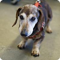 Dachshund Dog for adoption in Bealeton, Virginia - Bennett