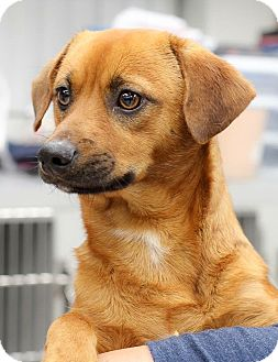 Dachshund/Terrier (Unknown Type, Small) Mix Dog for adoption in Seattle, Washington - Jack