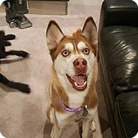Adopt A Pet :: Nukka - Salt Lake City, UT