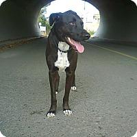 Adopt A Pet :: Shadow - Surrey, BC