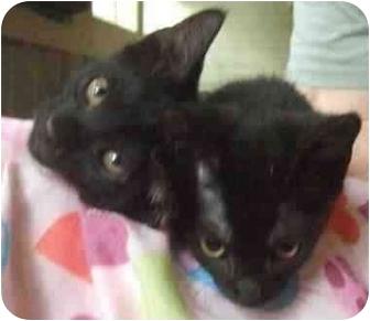 Domestic Shorthair Kitten for adoption in Little Rock, Arkansas - Blackberry