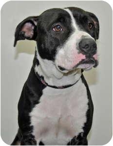 Pit Bull Terrier Dog for adoption in Port Washington, New York - Panda