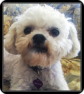Poodle (Miniature)/Maltese Mix Dog for adoption in Ft. Bragg, California - Penney