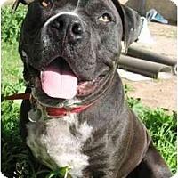 Adopt A Pet :: Billy Wiggles - Gilbert, AZ