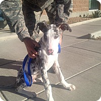 Adopt A Pet :: Glitch - Albuquerque, NM