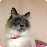 Adopt A Pet :: Fluffy - Foothill Ranch, CA