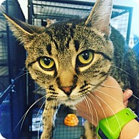 Domestic Shorthair Cat for adoption in Mt. Pleasant, Michigan - Hotei