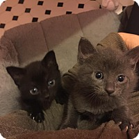 Adopt A Pet :: Brie's Sons (cute Kittens) - Jacksonville, FL