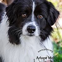 Adopt A Pet :: Kieran - Charleston, SC