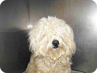Havanese/Poodle (Miniature) Mix Dog for adoption in Studio City, California - Fletucher
