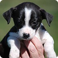 Adopt A Pet :: Oreo - Providence, RI