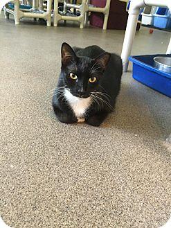 Domestic Shorthair Cat for adoption in Boca Raton, Florida - Sneakers