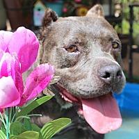 Pit Bull Terrier Mix Dog for adoption in Toluca Lake, California - Naomi