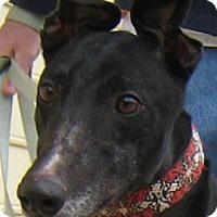 Adopt A Pet :: Foxy - Oak Ridge, NC
