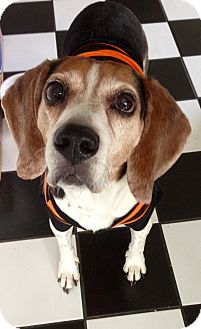Beagle Dog for adoption in Palos Hills, Illinois - Scrappy
