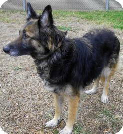 German Shepherd Dog/Belgian Tervuren Mix Dog for adoption in Lincolnton, North Carolina - Molly