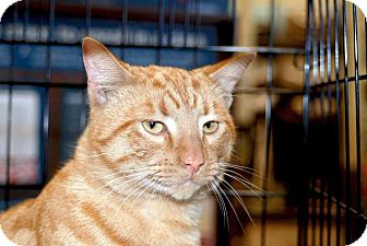 Domestic Shorthair Cat for adoption in New Port Richey, Florida - Colby