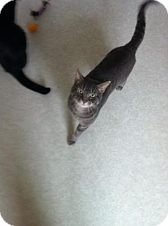 Domestic Shorthair Cat for adoption in Lancaster, Massachusetts - Barney
