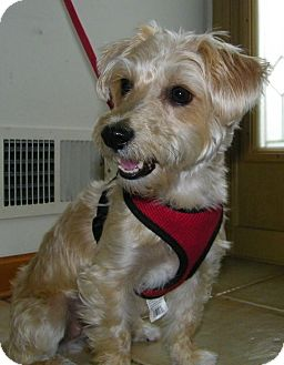 Yorkie, Yorkshire Terrier/Bichon Frise Mix Dog for adoption in South Amboy, New Jersey - Sadie