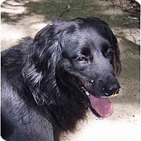 Adopt A Pet :: Lily - Toronto/Etobicoke/GTA, ON