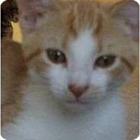 Adopt A Pet :: Mango - Port Republic, MD