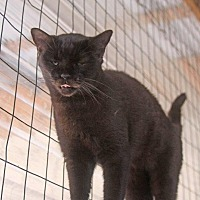 Domestic Shorthair Cat for adoption in New Bern, North Carolina - Meca