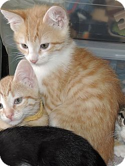 Domestic Shorthair Kitten for adoption in Garland, Texas - Boomerang
