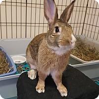 Adopt A Pet :: Laddie - Alexandria, VA