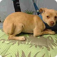 Chihuahua Mix Dog for adoption in San Bernardino, California - URGENT ON 3/11  San Bernardino
