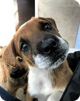 Boxer/Shepherd (Unknown Type) Mix Puppy for adoption in Eugene, Oregon - Fausto