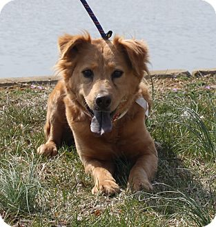 Australian Shepherd/Golden Retriever Mix Dog for adoption in Staunton, Virginia - Jenny