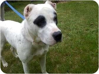 American Bulldog Mix Dog for adoption in Raymond, New Hampshire - Jimmy