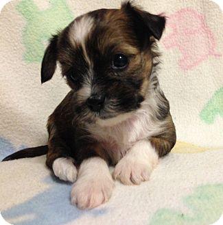 Manchester Terrier Mix Puppy for adoption in Bridgeton, Missouri - Guiness