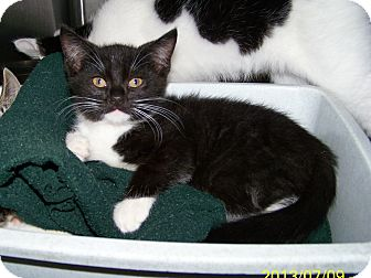 Domestic Shorthair Kitten for adoption in Dover, Ohio - Gordon