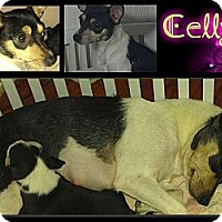 Adopt A Pet :: Celly - Alamosa, CO