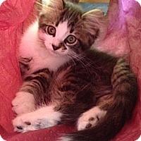 Adopt A Pet :: Incognato - Byron Center, MI
