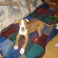 Staffordshire Bull Terrier Puppy for adoption in Tonopah, Arizona - zoe