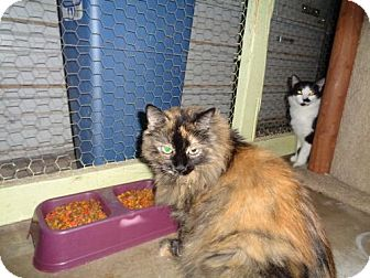Domestic Longhair Cat for adoption in Golden Valley, Arizona - Star