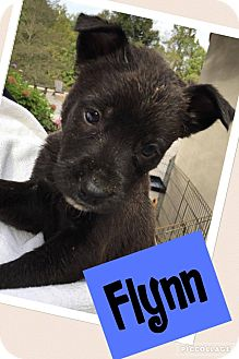 Labrador Retriever Mix Puppy for adoption in Austin, Texas - Flynn