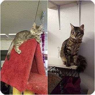 Domestic Longhair Cat for adoption in Phoenix, Arizona - MAVERICK & MOE