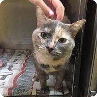 Domestic Shorthair Cat for adoption in Adrian, Michigan - Vegas