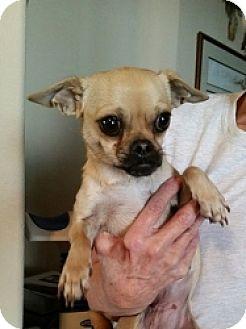 Chihuahua/Pug Mix Dog for adoption in Mesa, Arizona - Stacey