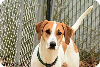 Hound (Unknown Type)/Labrador Retriever Mix Puppy for adoption in Meridian, Idaho - Coors