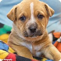 Adopt A Pet :: Bruiser - Homewood, AL