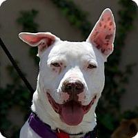 Adopt A Pet :: Van Halen - Columbia, IL