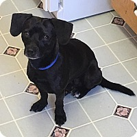 Adopt A Pet :: BLACKIE - Hurricane, UT